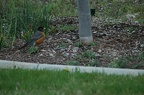 robin-neighbor-yard