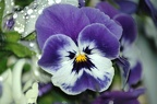 purple-pansies